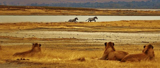 ライオンがしまうまを見つめている